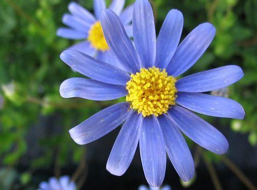 Felicia Heterophylla True Blue Daisy Seeds