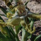 Ferraria variabilis Seestern Lilie Samen