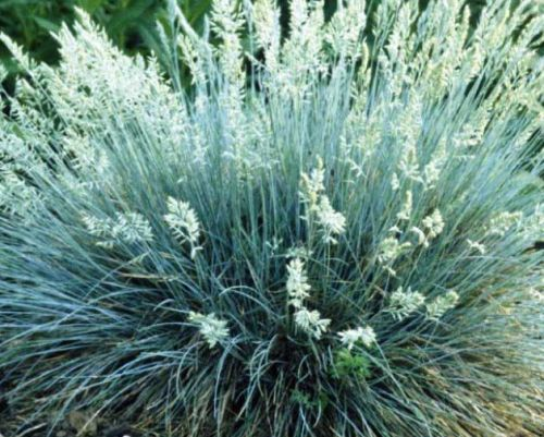 Festuca glauca Blue Fescue Grass seeds