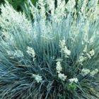 Festuca glauca  semi