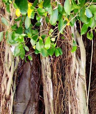 Ficus benghalensis banyan tree seeds