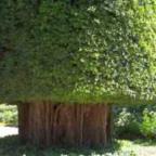 Ficus benghalensis Фикус бенгальский cемян