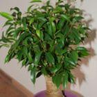 Ficus benjamina higuera llorosa china semillas