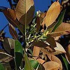 Ficus elastica ?rbol del caucho semillas