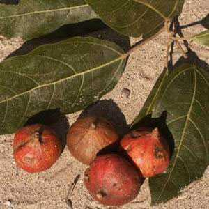 Ficus racemosa fruits galore fig tree seeds