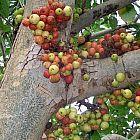 Ficus racemosa fruto abundante semillas