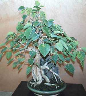 Ficus religiosa Bo tree seeds