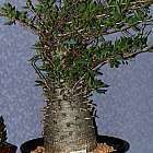 Fouquieria columnaris Boojum Baum ? Cirio  Samen