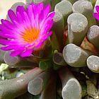 Frithia humilis Fenster Pflanze - Babyspielzeug Samen