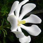 Gardenia cornuta  semillas