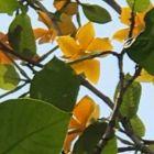 Gardenia sootepensis Gardenie d or graines