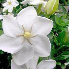Gardenia thunbergia Gardenia blanca semillas