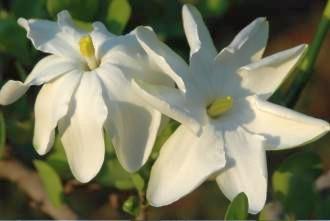Gardenia volkensii bushveld gardenia seeds