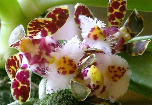 Gastrochilus bellinus orchids seeds