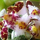 Gastrochilus bellinus orchidea semi