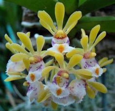 Gastrochilus obliquus Orchids seeds