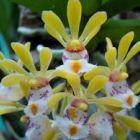 Gastrochilus obliquus  semi