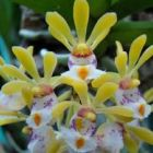 Gastrochilus obliquus Orchideen Samen