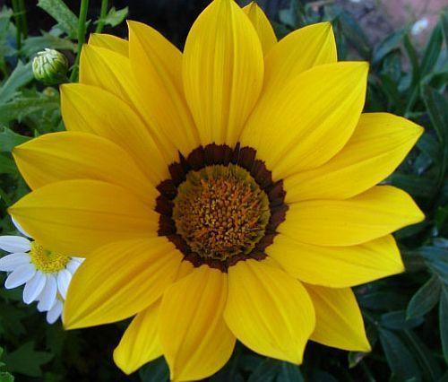 Gazania krebsiana high altitude terracotta gazania yellow seeds