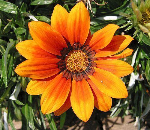 Gazania krebsiana orange terracotta gazania orange seeds