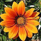 Gazania krebsiana orange Gazania semi