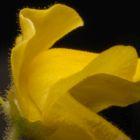 Genlisea aurea  semillas