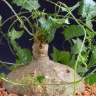 Gerrardanthus macrorhizus Plante caudex graines