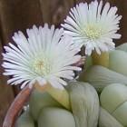 Gibbaeum album Aizoaceae graines