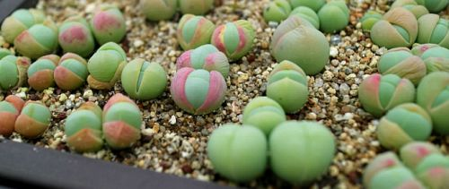 Gibbaeum comptonii succulent seeds