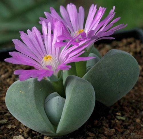 Gibbaeum dispar Gibbaeum seeds