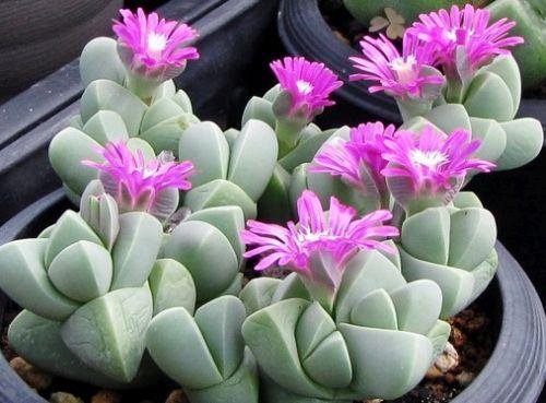 Gibbaeum petrense Mesembryanthemum seeds