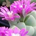 Gibbaeum petrense Mesembryanthemum Samen