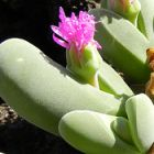 Gibbaeum shandii syn: Gibbaeum pubescens Samen