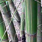 Gigantochloa longusvagina Riesenbambus Samen