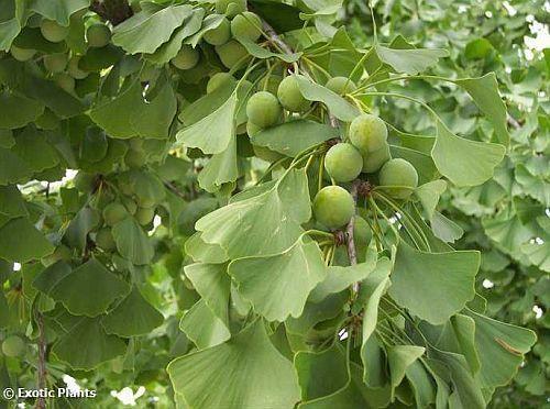 Ginkgo biloba Maidenhair Tree seeds
