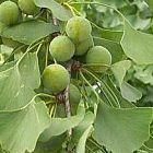Ginkgo biloba F?cherblattbaum Samen