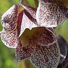 Gladiolus ecklonii Gladiole Samen