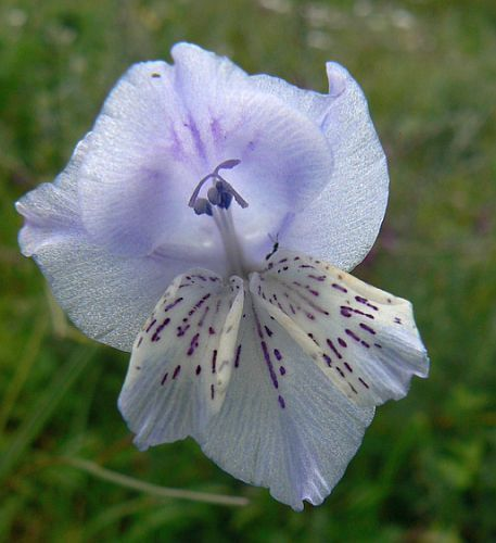 Gladiolus engysiphon sword lily seeds