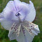 Gladiolus engysiphon Schwertlilie Samen