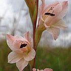 Gladiolus exiguus Schwertlilie Samen