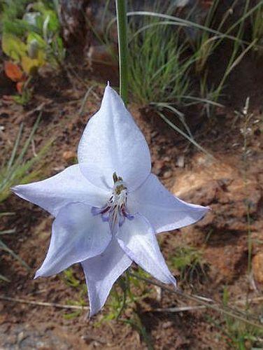 Gladiolus filiformis sword lily seeds