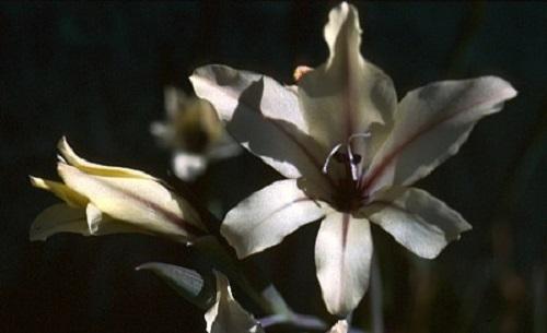 Gladiolus floribundus ssp floribundus sword lily seeds