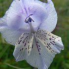 Gladiolus kamiesbergensis Schwertlilie Samen