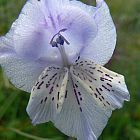 Gladiolus kamiesbergensis Gladiolo, Gladiolos, Espadilla semillas
