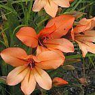 Gladiolus miniatus Schwertlilie Samen