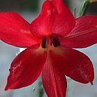 Gladiolus priorii Schwertlilie Samen