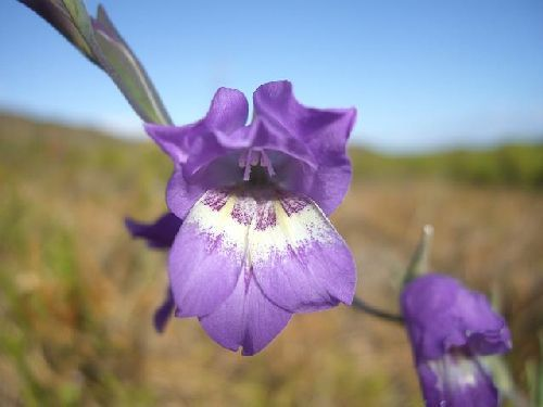 Gladiolus rogersii sword lily seeds