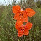 Gladiolus teretifolius Gladiolo, Gladiolos, Espadilla semillas