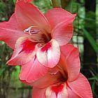 Gladiolus varius Schwertlilie Samen