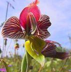 Gladiolus watermeyeri Schwertlilie Samen